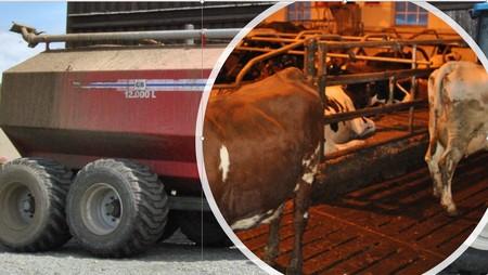 Møkkete gjødselvogn og kyr i fjøs