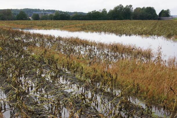 Været ødelag avlinger på Østlandet, foto: Amund Kind