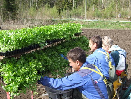 Stangselleri, planting, utenlandsk arbeidskraft