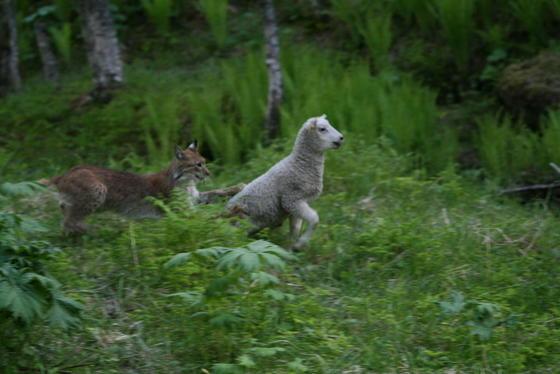 Gaupe tar lam. Bildet er tatt i Røyrdalen i Fauske Kommune 13. juni 2009.