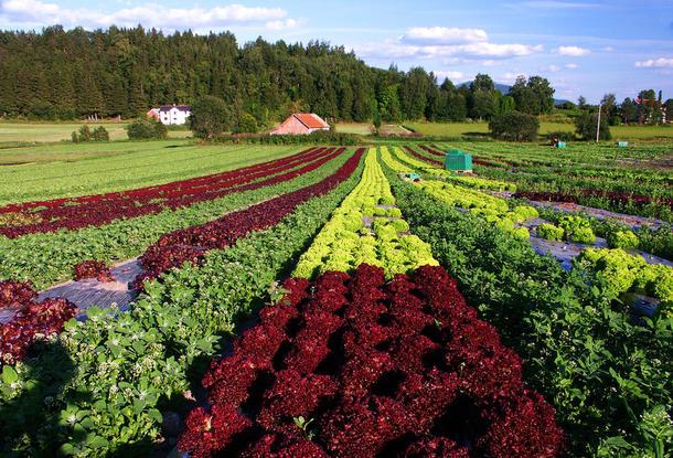 Frosta-salat, foto: Brita Buan