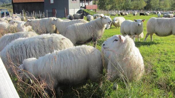 Sauer samla på Gjengedalsstøylen. Foto: Rune Sandal