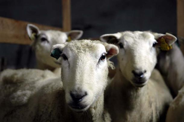 Bondelaget sier ja til driftsomstilling for sauebruk rammet av store rovdyrtap.