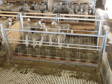 Sauer i fjøs med spaltegulv, som ikke er tillatt for økologiske sauer i EU.