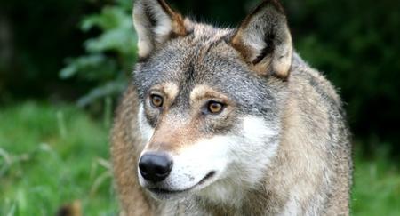 Skadefellingsløyve på ulv i Hyllestad, Fjaler og Høyanger kommune