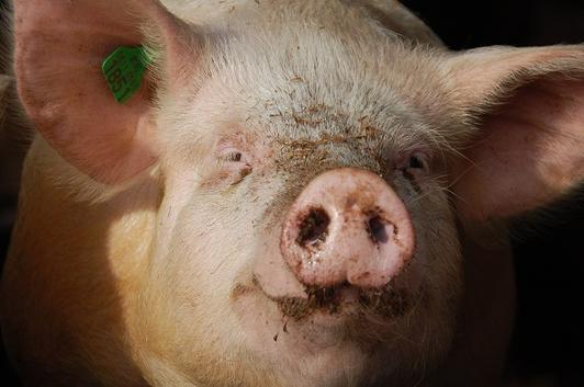 Den største veksten i antibiotikabruken er ventet i produksjonene av fjørfe og svin i land som Kina og India, mener OECD.