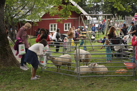 Nærkontakt med sauer på Åpen Gård på Hurum i 2011.