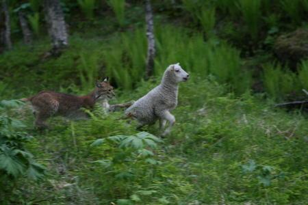Gaupe angriper lam på beite. Fotograf Jostein Hunstad.