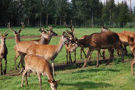 Hjort fra Løiten hjorteoppdrett