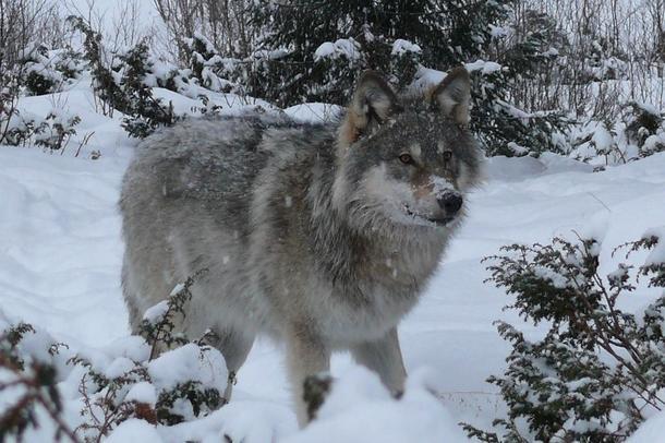 Illustrasjonsfoto av ulv. Foto: Solveig Haugan Jonsen.