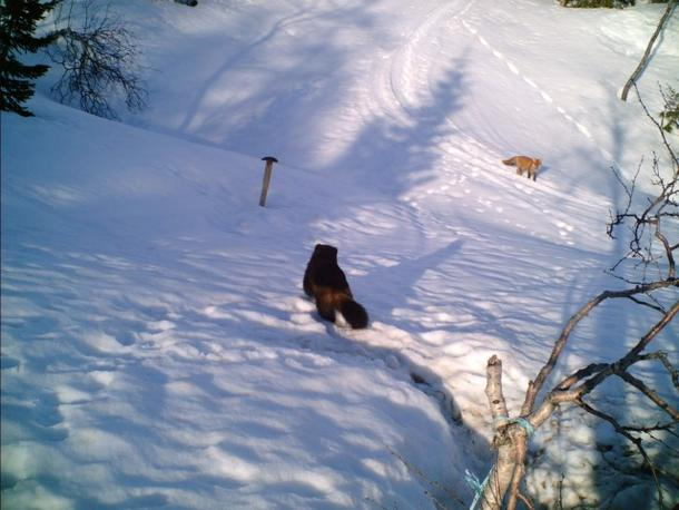 Jerv og rev tatt med viltkamera i Rana kommune