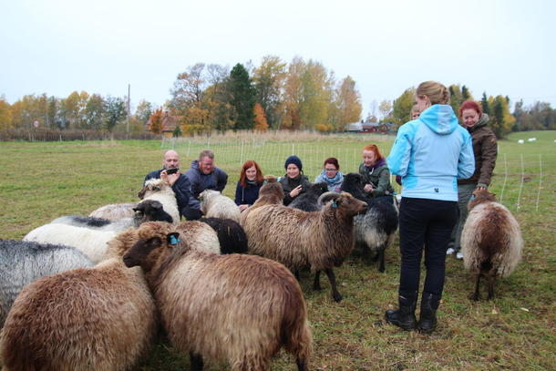En saueflokk møter en annen saueflokk, foto: Kari Marte Sjøvik