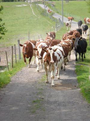 Kua spiser gress og kraftfôr og produserer kjøtt, melk og kulturlandskap, illustrasjonsfoto: Vibeke Kvalevåg.