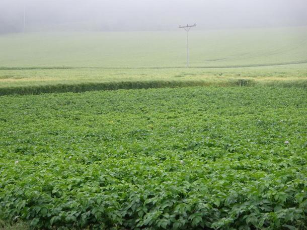 Korn og potet på Viggja i Sør-Trøndelag