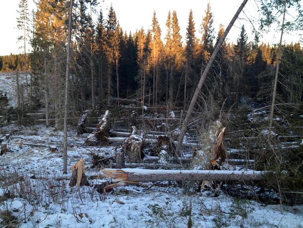 Stormen Ivar feide ned mye skog i store deler av Nord-Trøndelag, som her i Sparbu. (Foto: Ove Holde)