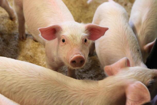 Ingen funn av antibiotikaresistente MRSA-bakterier i norske svinebesetninger i fjor.