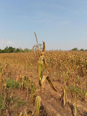 FNs klimapanel antar at tørke blir et mye vanligere syn i fremtiden. Bilde fra en åker i Kentucky. Foto: CranStation/Flickr