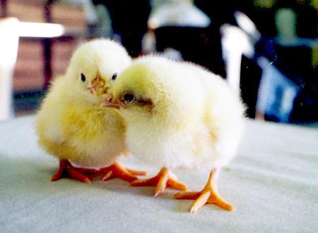 LMD åpner for dobbelt så mange kyllinger på hver gård.