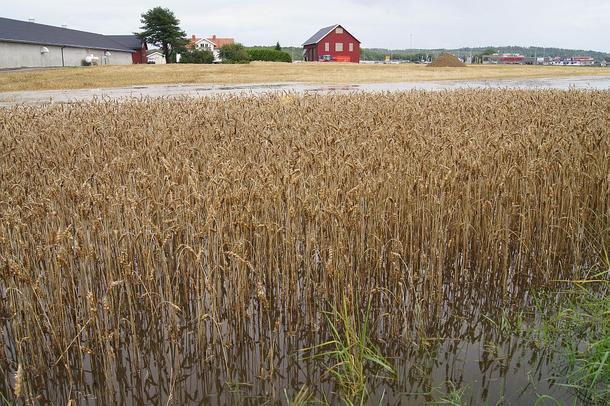Bilde fra flommen over en kornåker i Jarlsberglinna 2011.