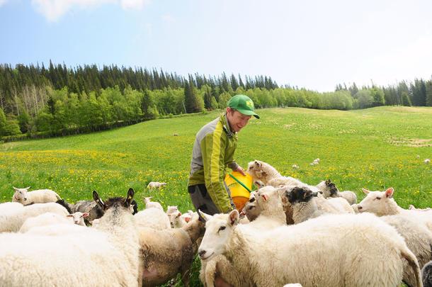 ENESTE SAUEBONDE: I tillegg til å drive med melk, har Ole Morten Græsli 130 sauer og lam. Han er den eneste som har sauer i det rovdyrutsatte området.