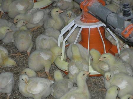 Kyllinger i forautomat Foto BJS