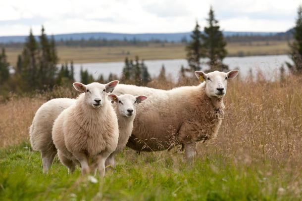 8500 bønder, mange av dem sauebønder, får dyrere drift med økt grense for registrering i mva-registeret.