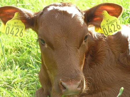 Kalv i graset