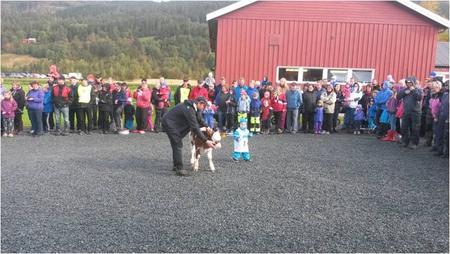 Kalvemønstring Åpen Gård Meldal 2014 Foto Arnt Tilset
