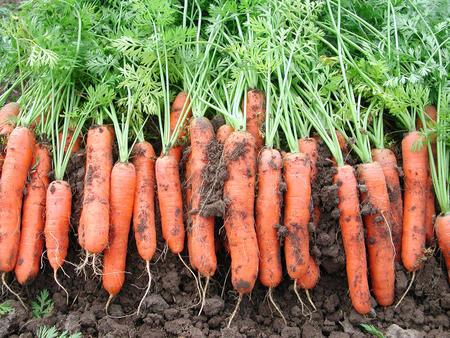 Venstre vil ha null moms på frukt, grønt og økologisk mat. Dermed kan disse nyhøstede gulrøttene fra Vestfold bli 25 prosent billigere.