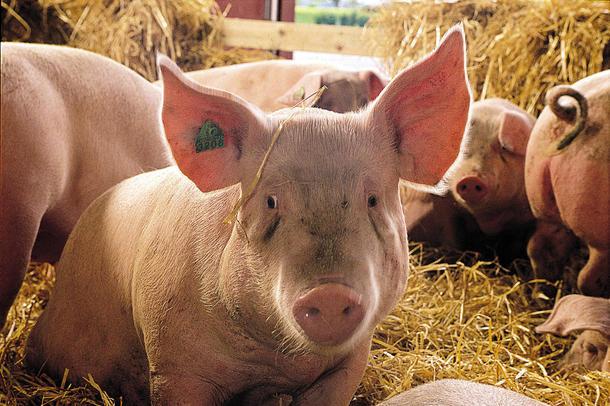Disse grisene har det bra. Illlustrasjonsfoto.