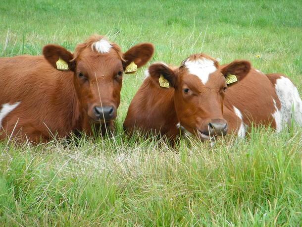 - Dagene mine går bl.a. med til å legge forholdene til rette for at Dagros og Litago skal kunne være så produktive som mulig. De bruker dagene sine til å tygge drøv, slik at milliarder av mikrober i vomma kan bryte ned det ubrukelige graset, for i neste omgang å kunne produsere melk og kjøtt av beste kvalitet.