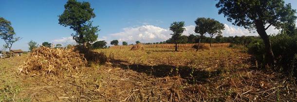 Her er Priscas mais i stabler, før kolbene er plukket av. Etterpå blir halmen spredd utover til markdekke. Bak står står den uhøstede maisen til en av Priscas følgebønder.