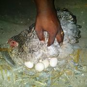 Prisca håper på mange kyllinger.