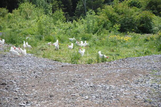 Hønene hos Kristine og Lauritz Dyste trenger ikke klage over plassmangel.