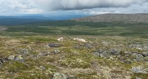 God plass til beitedyr. Her fra Lyngkampen på grensa mellom Øyer og Storelvdal. Dette fjellområdet ligger øst for Langsua.