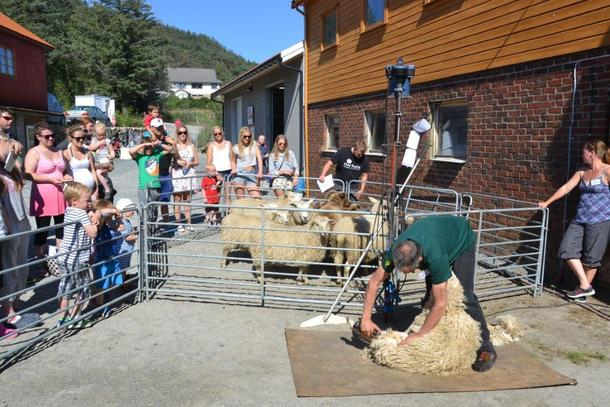 Stor interesse for saueklipping på Åpen Gård på Søya Gard .