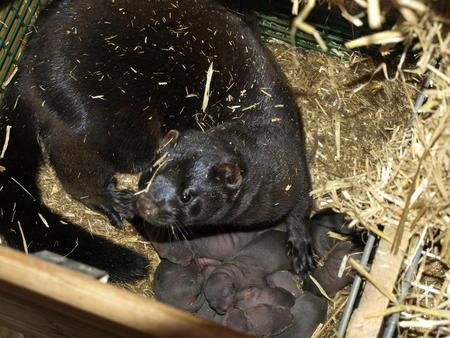 mink med valper, Terje Hålands minkfarm