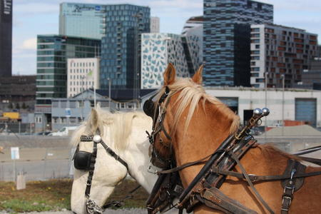 Hestene klare til å ploge på Losæter