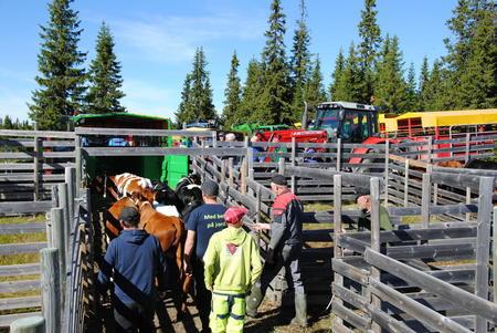 Første lass med dyr skal hjem til Pål Borgen i Brekkom.