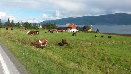 Kyr på Kvaløya