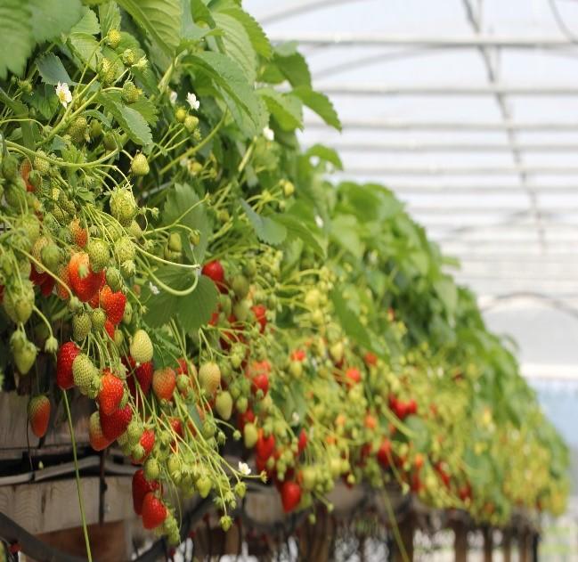 Jordbær i veksthus