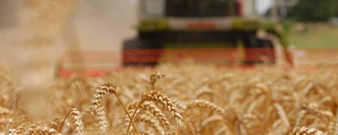 Tresking av hvete