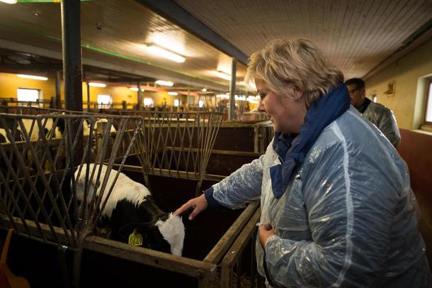 Statsminister Erna Solberg og ku