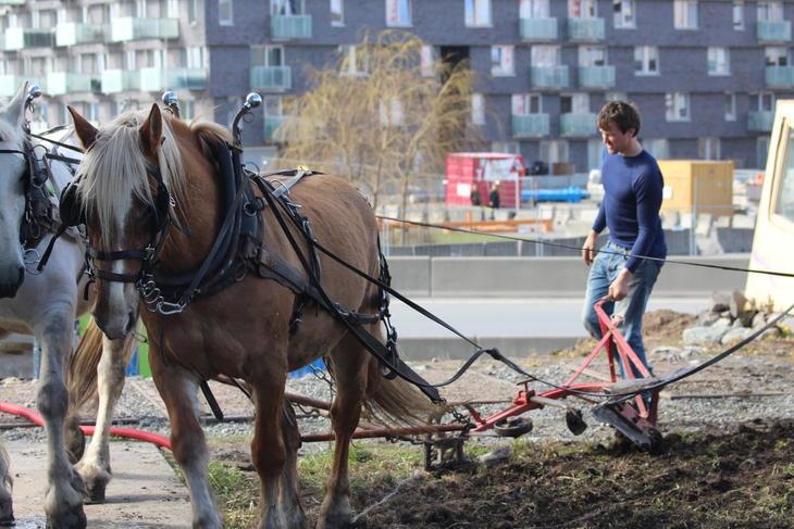 Hester pløyer på Losæter