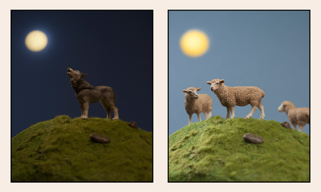 sau eller ulv