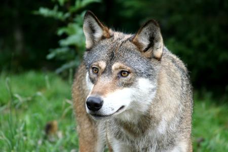 Illustrasjonsbilde av ulv. Foto: Ove Magne Ribsskog.