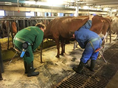 Olaug Bollestad (KrF) får hjelp av Marit Epletveit før ho skal prøva seg på handmjølking.