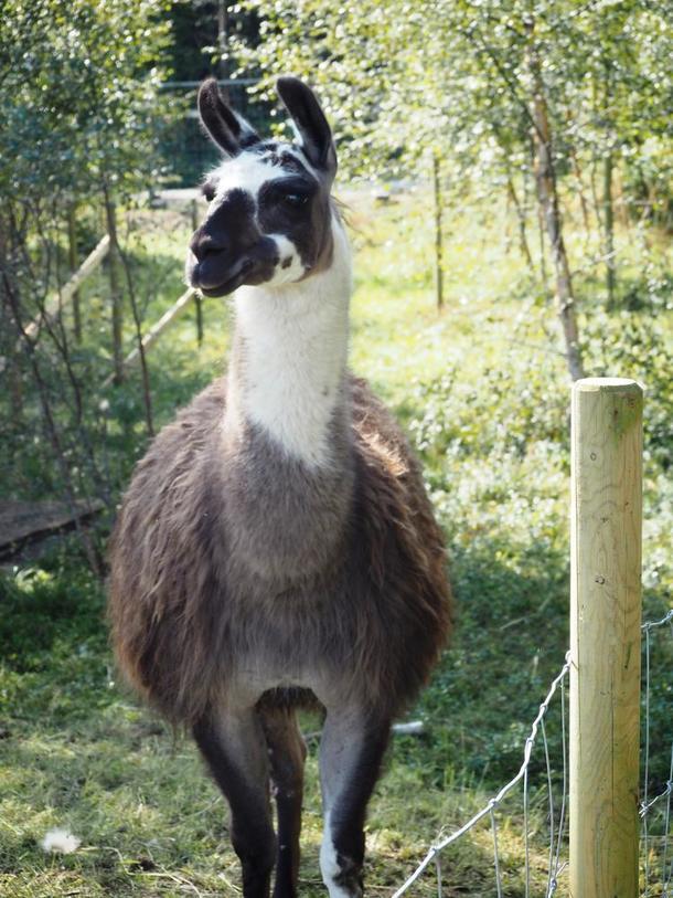 Ikke alle gårdsdyr er like tradisjonelle - her kom en lama og stilte seg opp til fotografering.