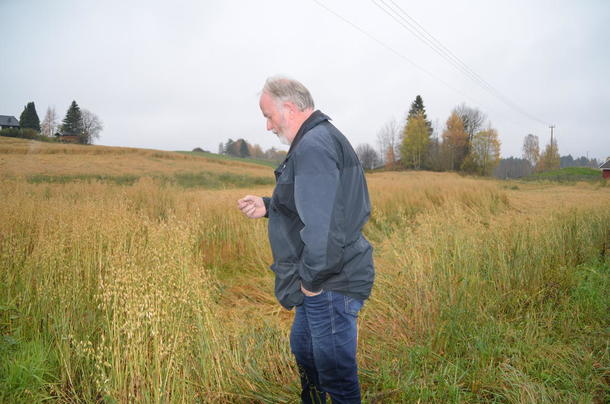 Fylkesleder Trond Ellingsbø kjenner på kvaliteten på kornet som fortsatt står ute.