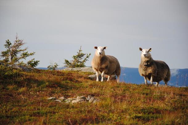Sau på fjellbeite i Oppland